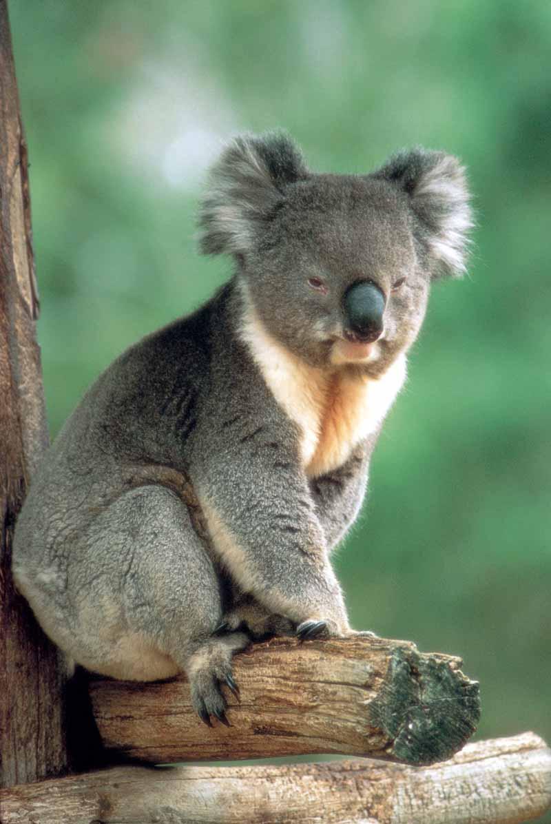 koala-australia.jpg