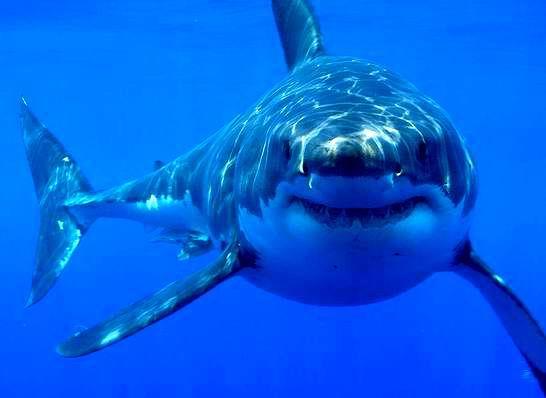 saidaonline-shark.jpg