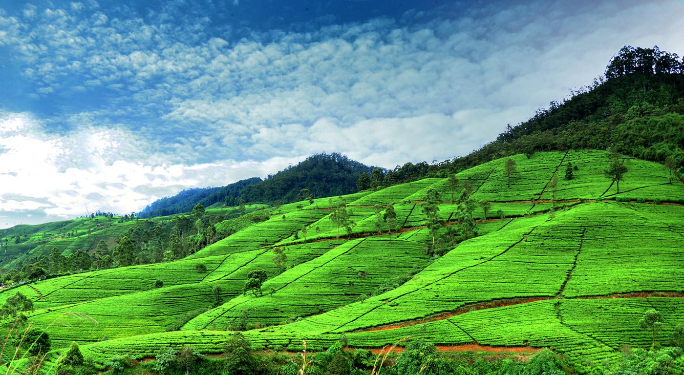tea-in-nuwaraeliya.jpg