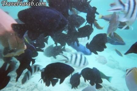 453908 المسافرون العرب جزيرة تيومان عالم تحت الماء