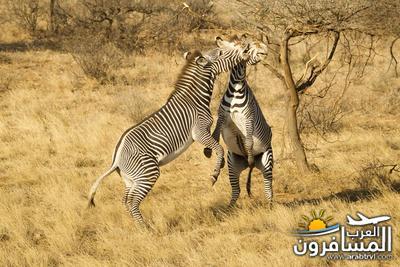 617399 المسافرون العرب الحديقة الوطنية في كينيا
