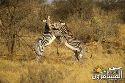 617400 المسافرون العرب الحديقة الوطنية في كينيا
