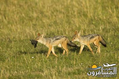 617401 المسافرون العرب الحديقة الوطنية في كينيا