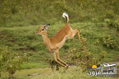 617407 المسافرون العرب الحديقة الوطنية في كينيا