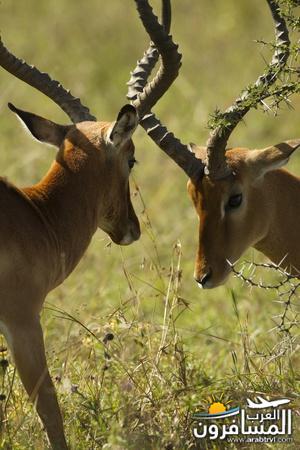 617408 المسافرون العرب الحديقة الوطنية في كينيا
