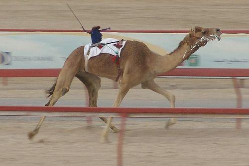 10-km-Camal-race.jpg