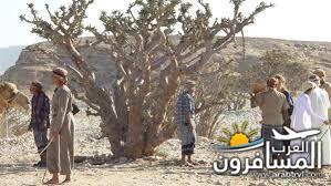 شجرة اللبان-683913