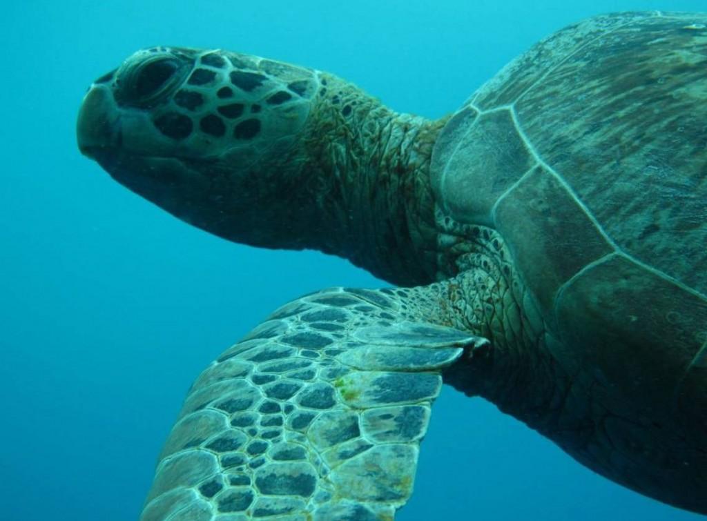 turtle-derawan-3-1024x755.jpg