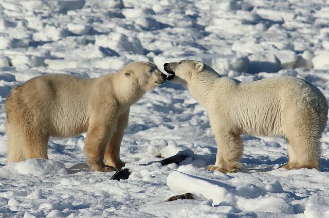 canada-bears.jpg