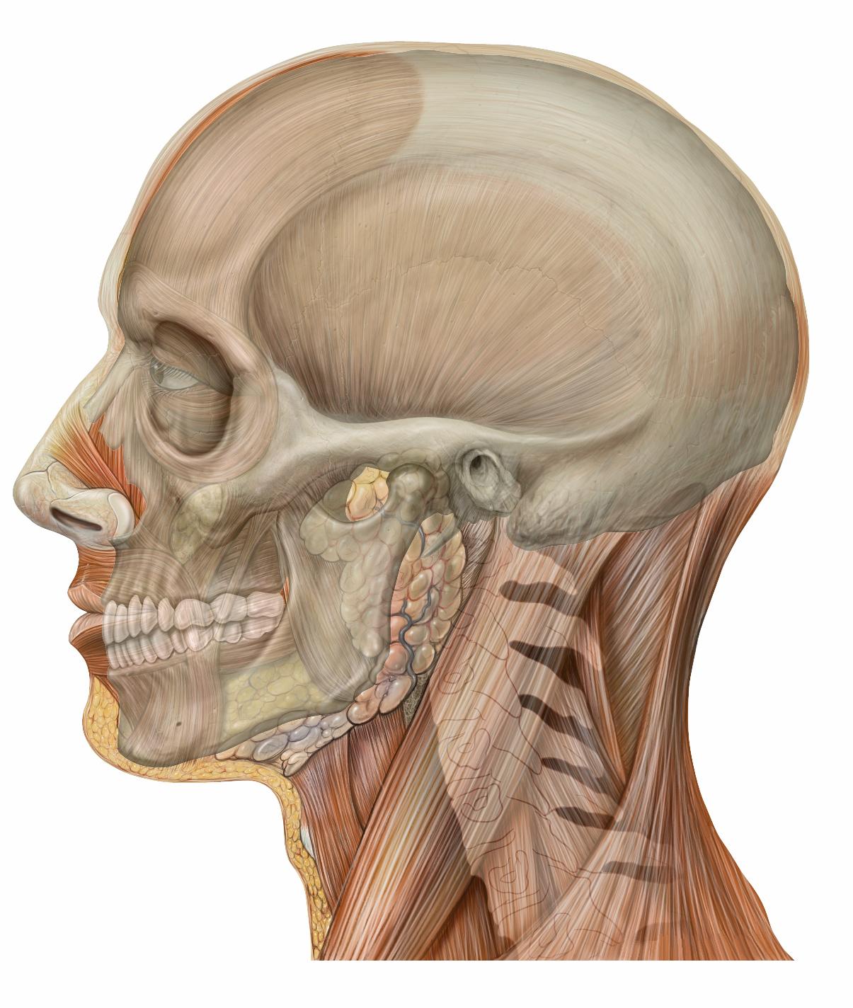 Lateral_head_skull.jpg