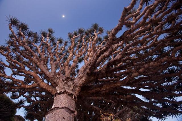 01-socotra-icon-dragons-blood-tree-670.jpg