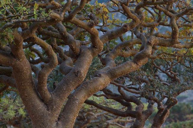 14-frankincense-tree-homhil-670.jpg