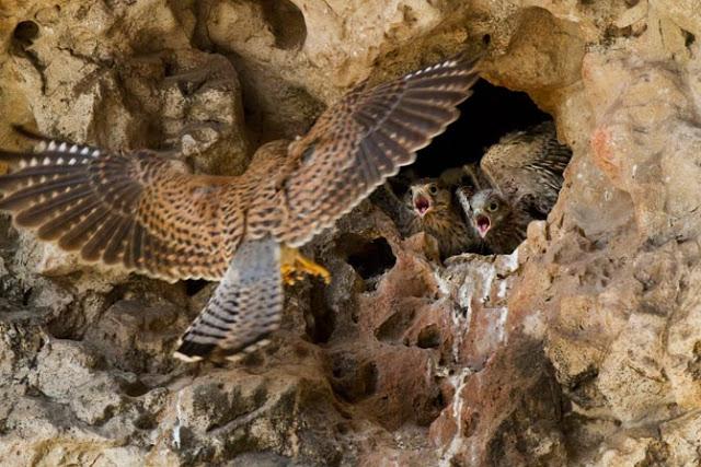 16-female-kestrel-brings-food-to-nestlings-670.jpg