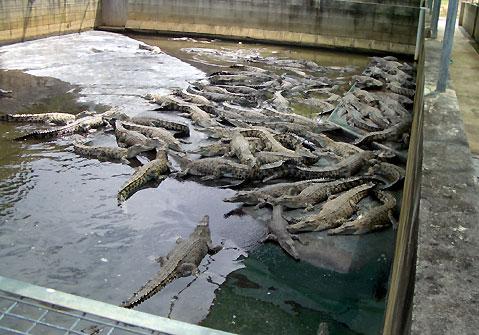 من أفضل الأماكن التي يمكنك زيارتها في دولة ماليزيا ( مزرعة التماسيح في لنكاوي)