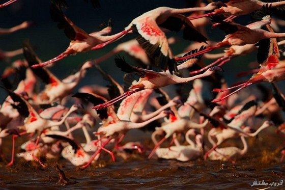 صور بحيرة ناكورو فى كينيا